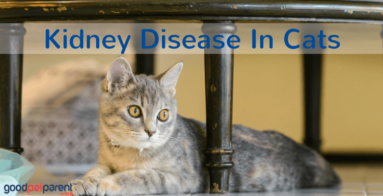 kidney disease in cats good pet parent. Black Bedroom Furniture Sets. Home Design Ideas