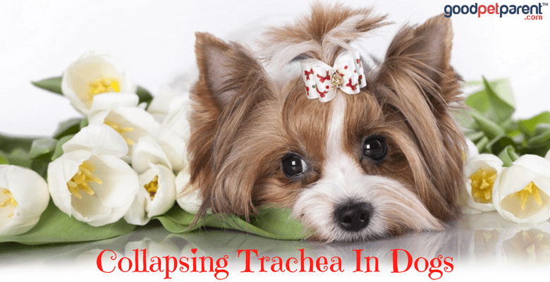 Collapsing Trachea In Dogs Feature Image