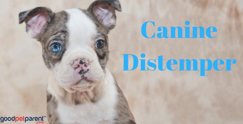 Canine Distemper Feature Image